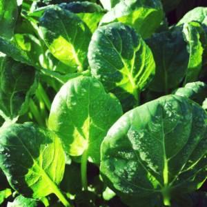 harvest, salad greens, Growing Spaces, winter harvest, greenhouse