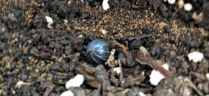 organic pest control roly poly in a ball