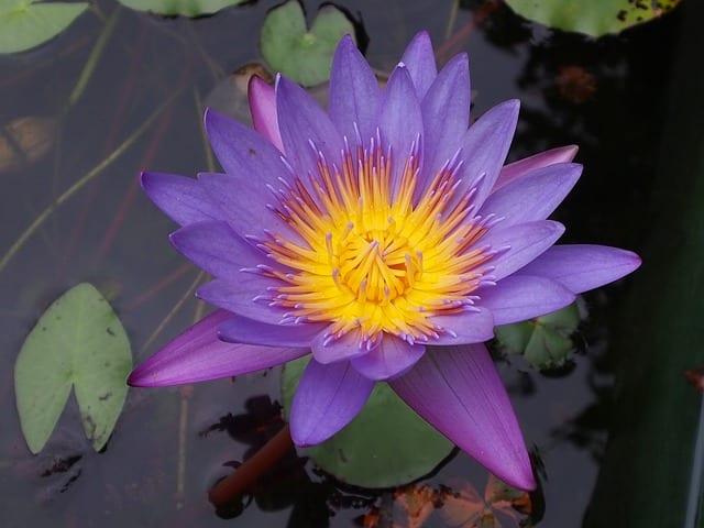 lotus-760096_640