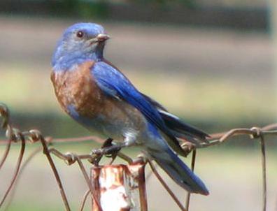 spring mt bluebird