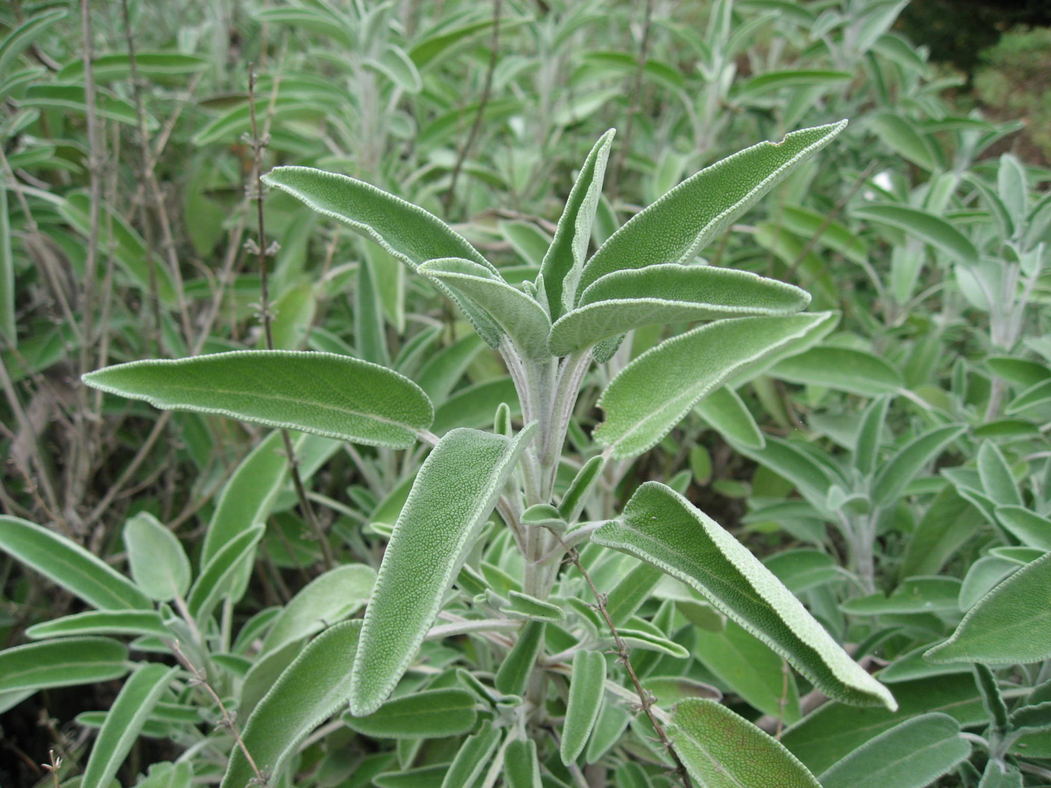 Herbs for flu season