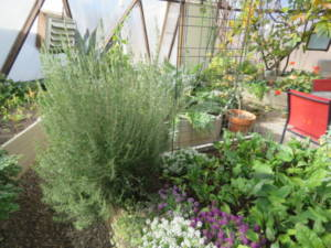 garden herbs in a greenhouse