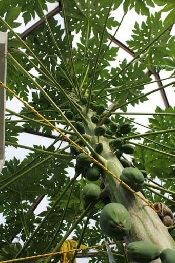 Papaya in Growing Dome Greenhouse in Sweden