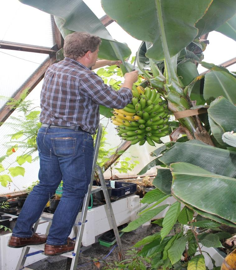 Banana Tree i Growing Dome Greenhouse in Sweden