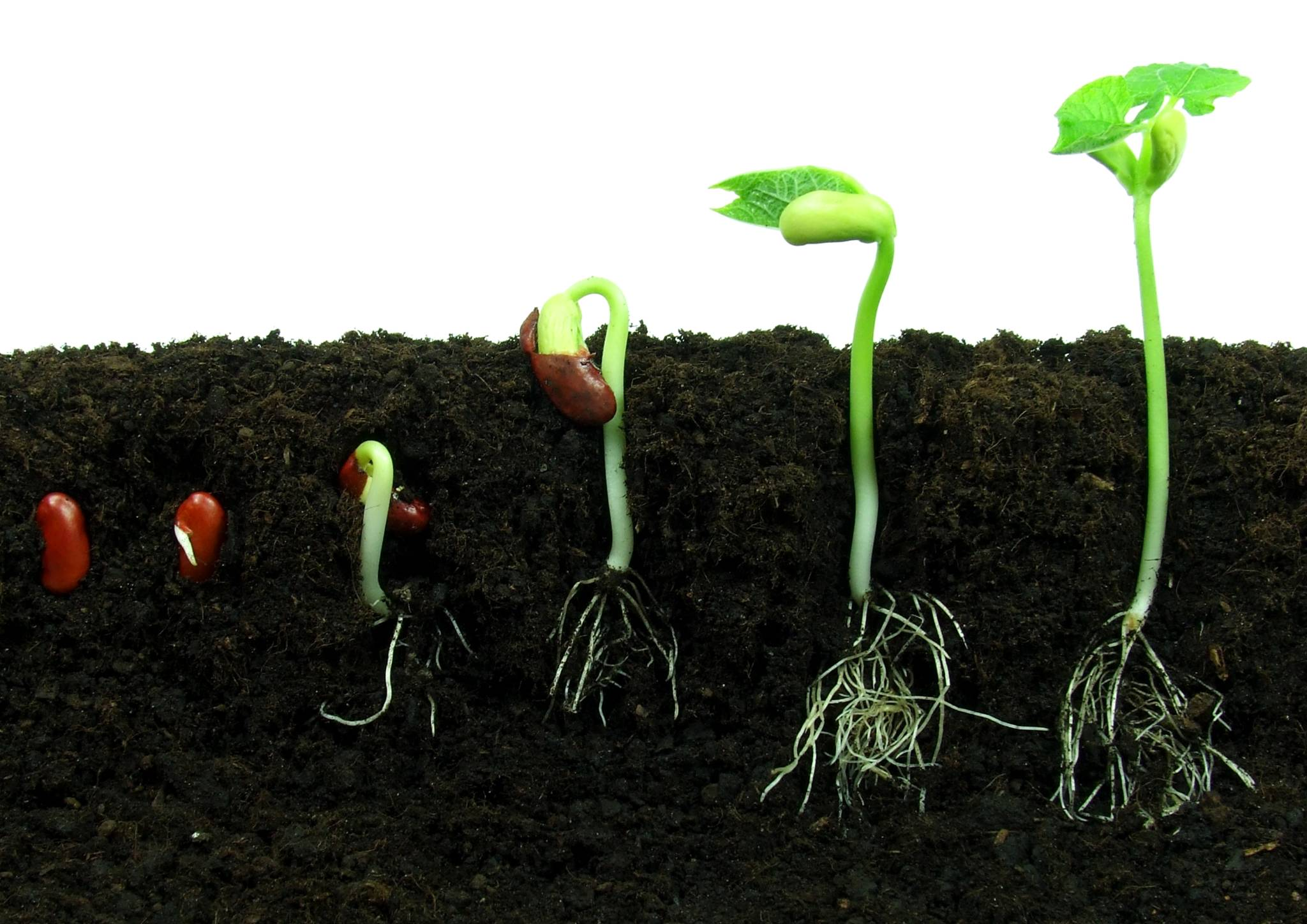 germinating-bean-seeds