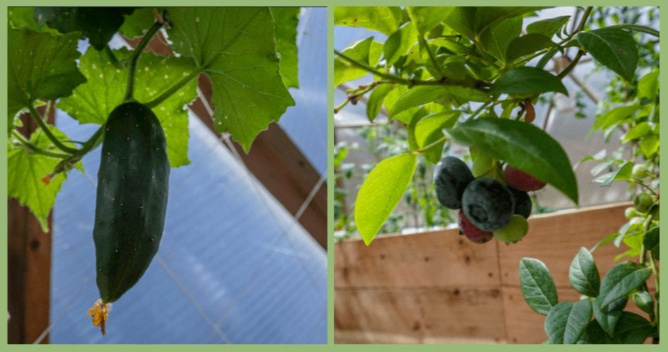 Cucumber & Blueberries in the Restaurant Greenhouse