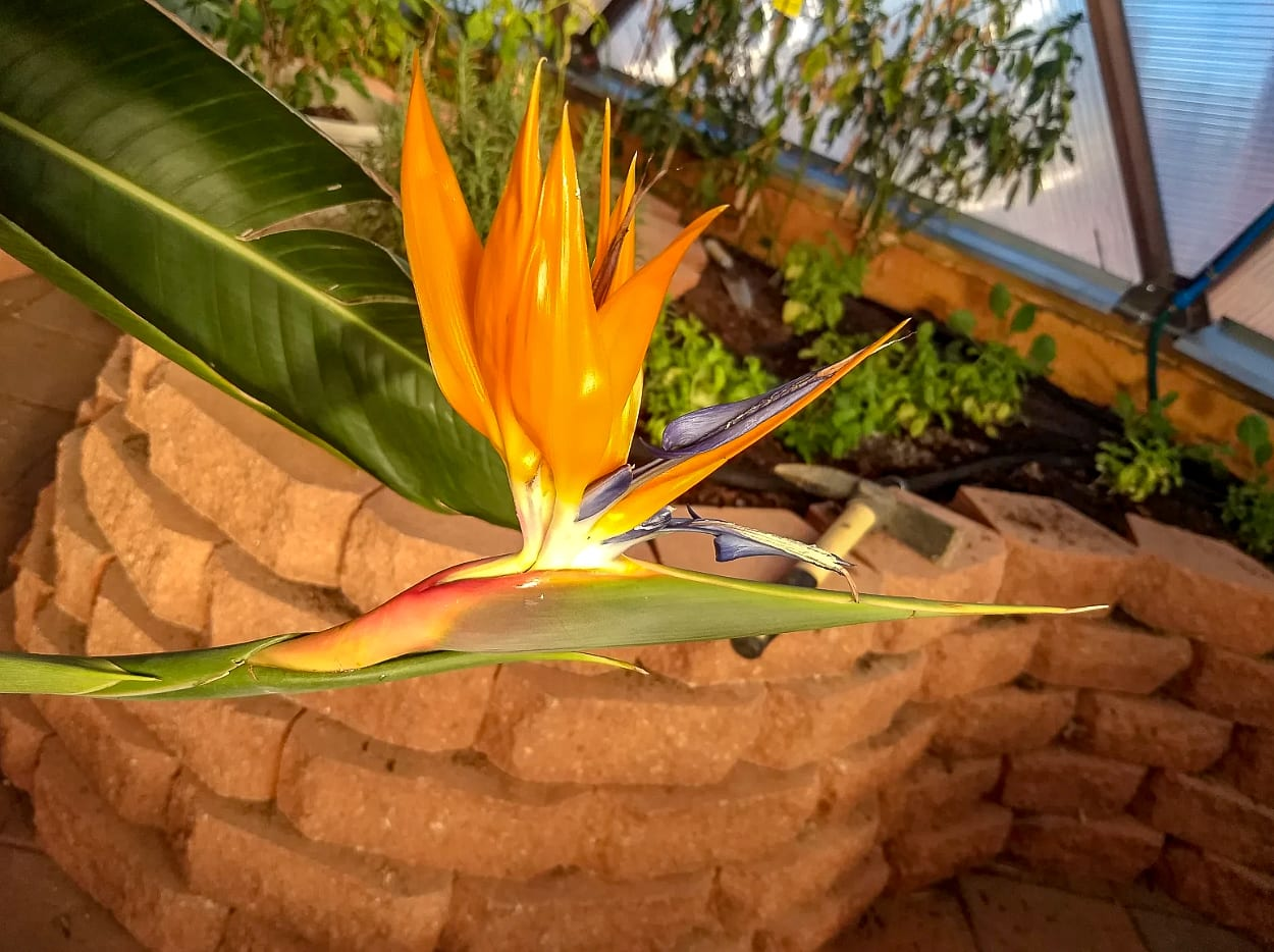Birds of Paradise Tropical Flower growing in a Growing Dome Geodesic Greenhouse