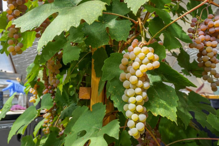 Fresh Grapes off the vine in a Growing Dome Greenhouse