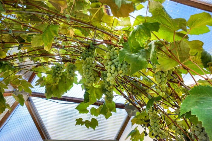 Vine to create shade in greenhouse