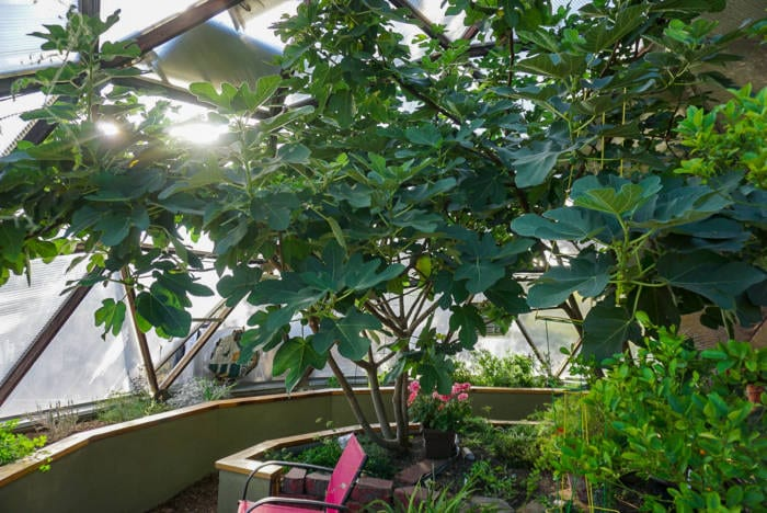 Shade Tree to cool Growing Dome Greenhouse