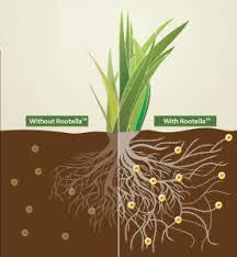 Mycorrhizae for hydrophobic soil