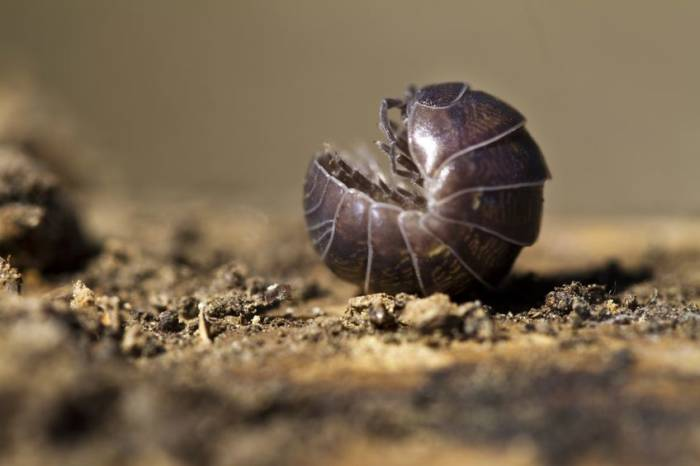 Roly Poly Bug rolled up in a little ball