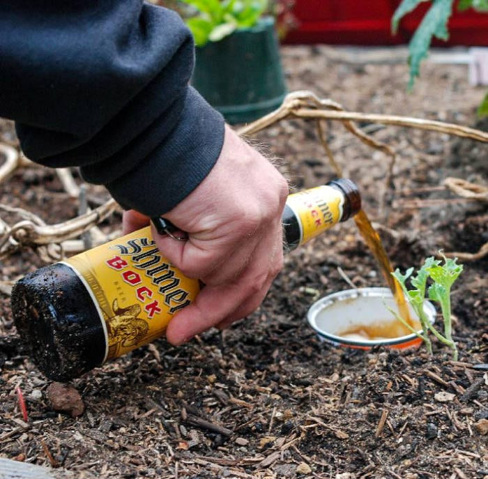 Beer Trap for Pill Bugs and Roly Poly Bugs