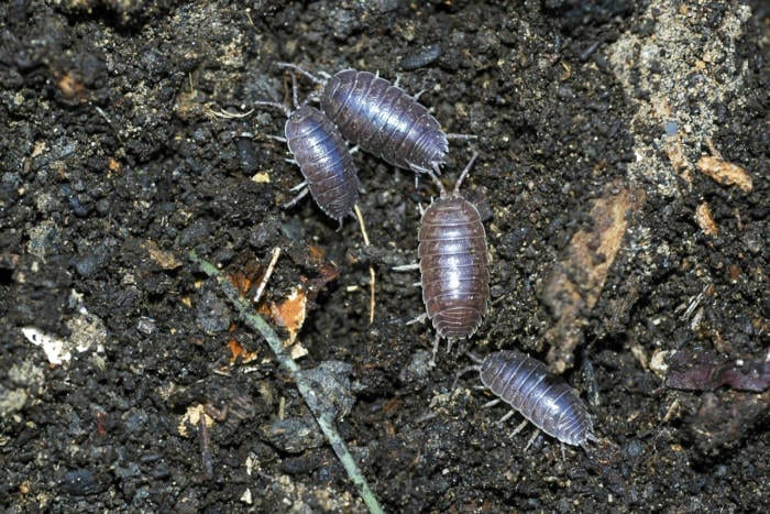 Pill Bugs also known as roly poly bugs