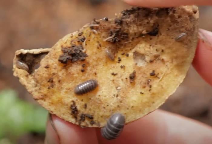 Potato Roly Poly Trap